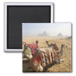 Egypt, Cairo. Resting camels gaze across the 2 Inch Square Magnet