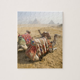 Egypt, Cairo. Resting camels gaze across the Jigsaw Puzzle