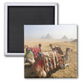 Egypt, Cairo. Resting camels gaze across the Magnet