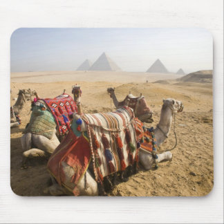 Egypt, Cairo. Resting camels gaze across the Mouse Pad