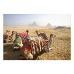 Egypt, Cairo. Resting camels gaze across the Photo Print