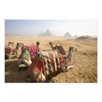 Egypt, Cairo. Resting camels gaze across the Photo Print