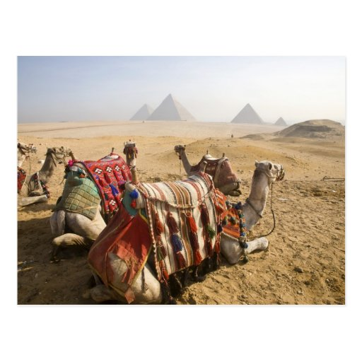 Egypt, Cairo. Resting camels gaze across the Post Cards