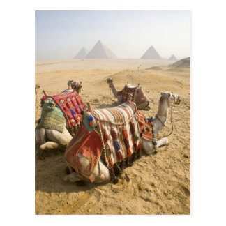 Egypt, Cairo. Resting camels gaze across the Postcard