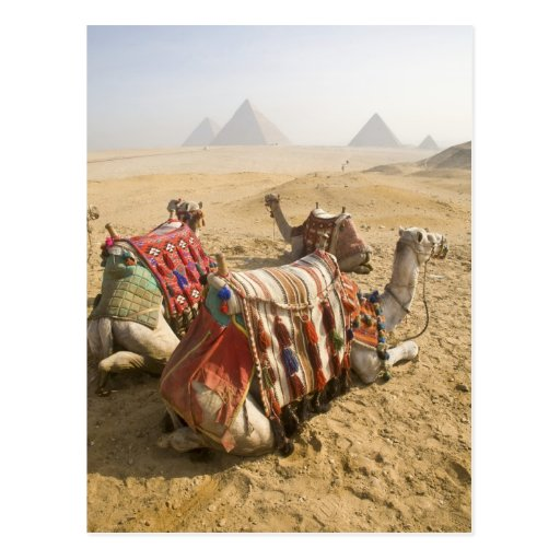 Egypt, Cairo. Resting camels gaze across the Post Card