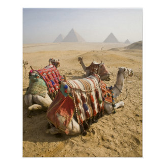 Egypt, Cairo. Resting camels gaze across the Poster