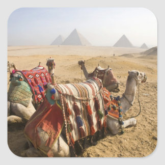 Egypt, Cairo. Resting camels gaze across the Square Sticker