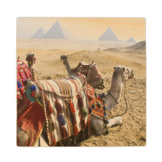 Egypt, Cairo. Resting camels gaze across the Wood Coaster