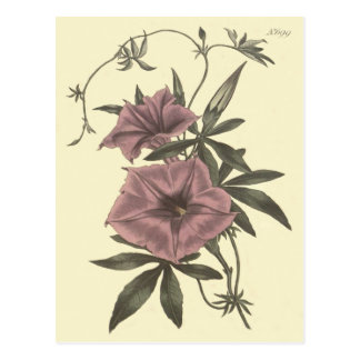 Egyptian Bindweed Botanical Illustration Postcard