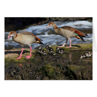 Egyptian Geese family Greeting Card