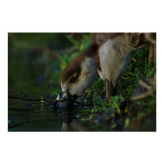 Egyptian goose chicks. Richmond Park, England. Posters