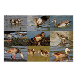 Egyptian Goose Collage Poster