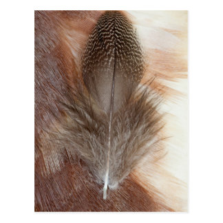 Egyptian Goose Feather Still Life Postcard