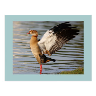 Egyptian Goose Post Cards