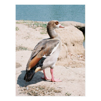 Egyptian Goose Postcard
