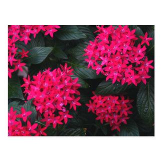 Egyptian Star Flower Postcard