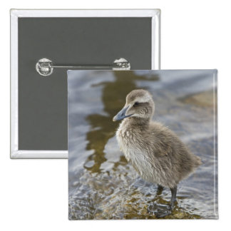 Eider chick in a pond in Reykjavik, Iceland. 2 Inch Square Button