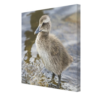 Eider chick in a pond in Reykjavik, Iceland. Canvas Print