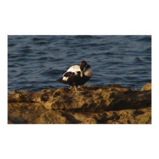 Eider Duck on Rocks Photo Print