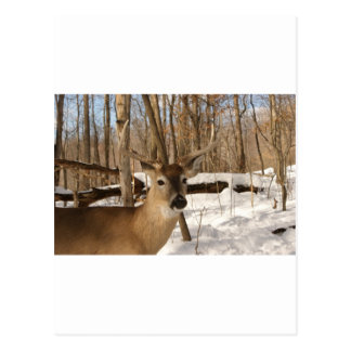 Eight point buck in winter snow. postcard