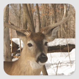 Eight point buck in winter snow. square stickers