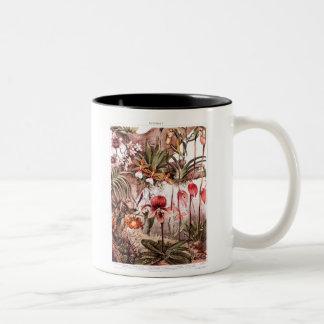 Ejemplo 1911 de la variedad de la flor de la taza de café de dos colores