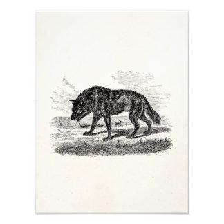 Ejemplo americano de los lobos de los 1800s del fotografías