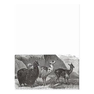 Ejemplo blanco y negro de la alpaca de la llama tarjeta postal
