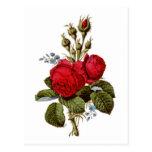 Ejemplo bonito 1847 de los rosas rojos del musgo d postal