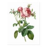 Ejemplo botánico color de rosa rosado del vintage, postales