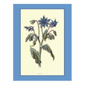 """Ejemplo botánico de la """"borraja"""" tarjetas postales"""