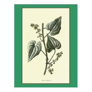 "Ejemplo botánico de la ""brionia negra"" postal"