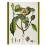 Ejemplo botánico de la flor del vintage tarjetas postales