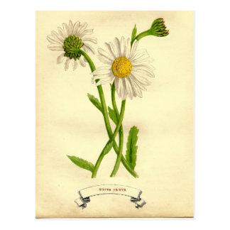 Ejemplo botánico de la margarita del vintage postales