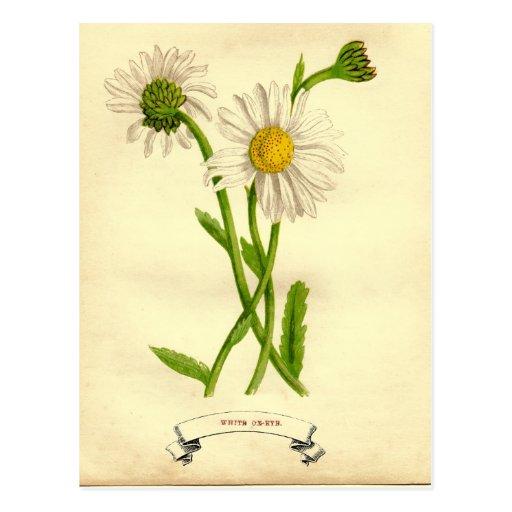 Ejemplo botánico de la margarita del vintage postal