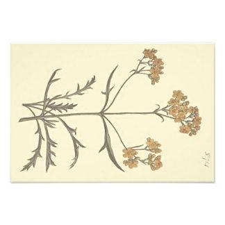 Ejemplo botánico de la valeriana siberiana fotografías