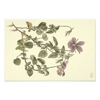 Ejemplo botánico de la violeta de cuernos cojinete