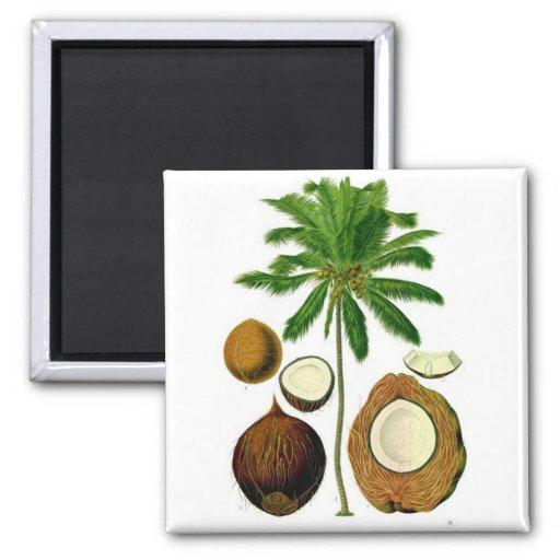 Ejemplo botánico del árbol de coco iman para frigorífico