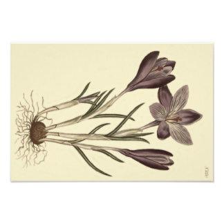 Ejemplo botánico del azafrán púrpura grande de la fotografías