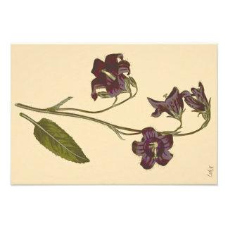 Ejemplo botánico del Bellflower con hojas sabio Fotografías