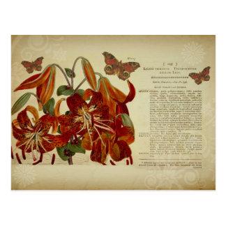 Ejemplo botánico del lirio tigrado del vintage postales