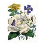 Ejemplo botánico del rosa blanco postales