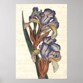 Ejemplo botánico del siglo XIX de Curtis del iris Póster
