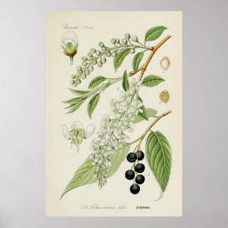 Ejemplo botánico del vintage póster