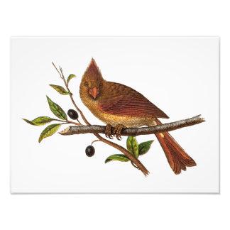 Ejemplo cardinal del pájaro de la canción del vint fotos
