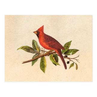 Ejemplo cardinal del pájaro de la canción del vint postal