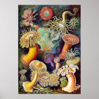 Ejemplo de Actiniae que pinta a Germa Ernst Haecke Poster