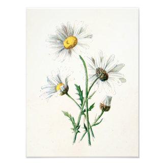 Ejemplo de la flor salvaje de las margaritas del v impresión fotográfica