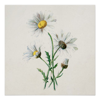 Ejemplo de la flor salvaje de las margaritas del v póster