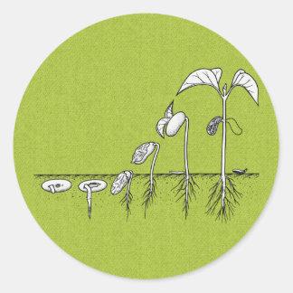 Ejemplo de la germinación de la planta pegatina redonda